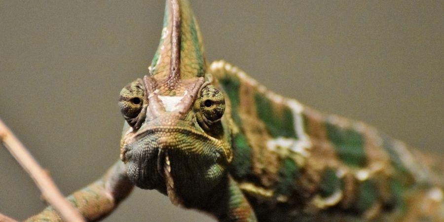 camaleon del yemen macho  verde de gran tamaño