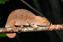 reptil camaleon