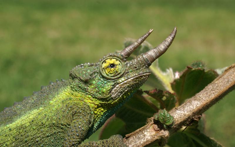 Todos los cuidados y características del camaleón Jackson
