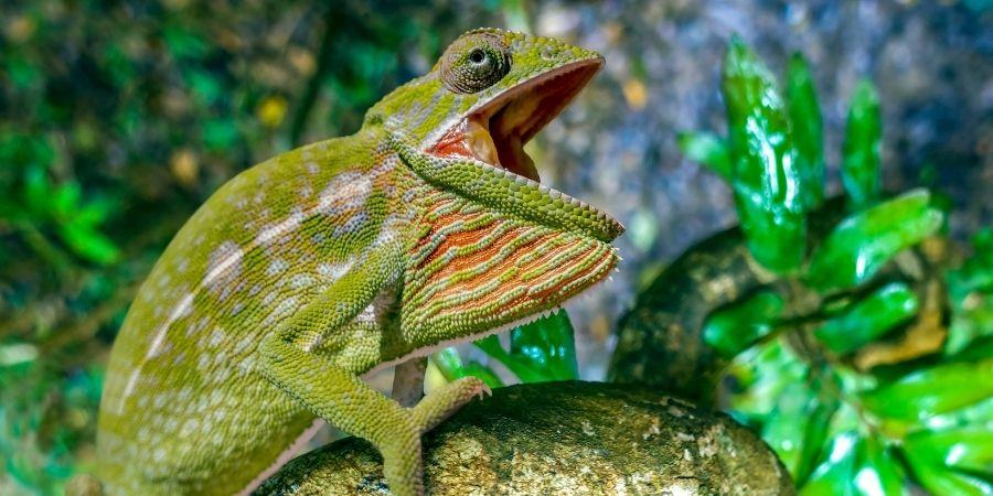 camaleon comun con la boca abierta