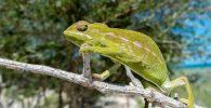 camaleon comun españa