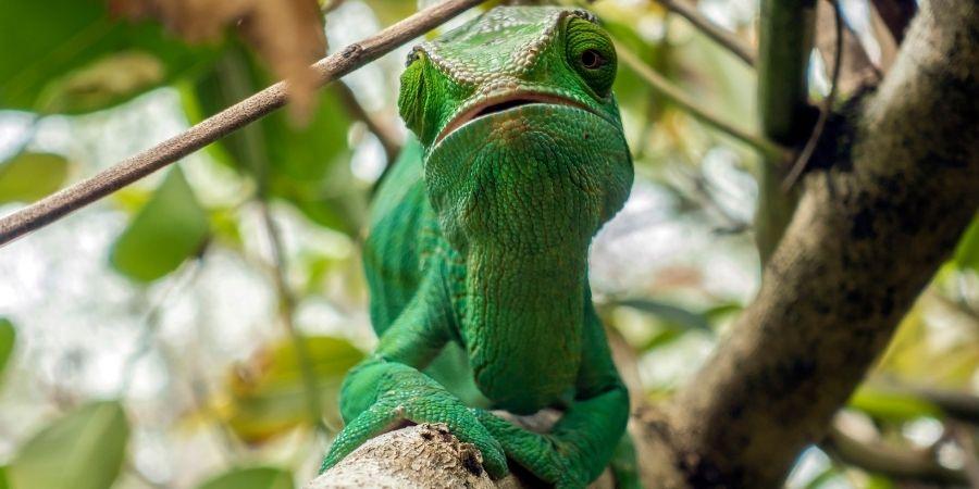 camaleon comun verde en españa