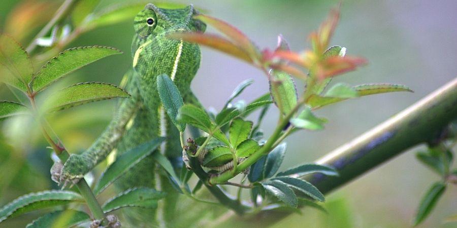 camaleon comun comiendo un insecto