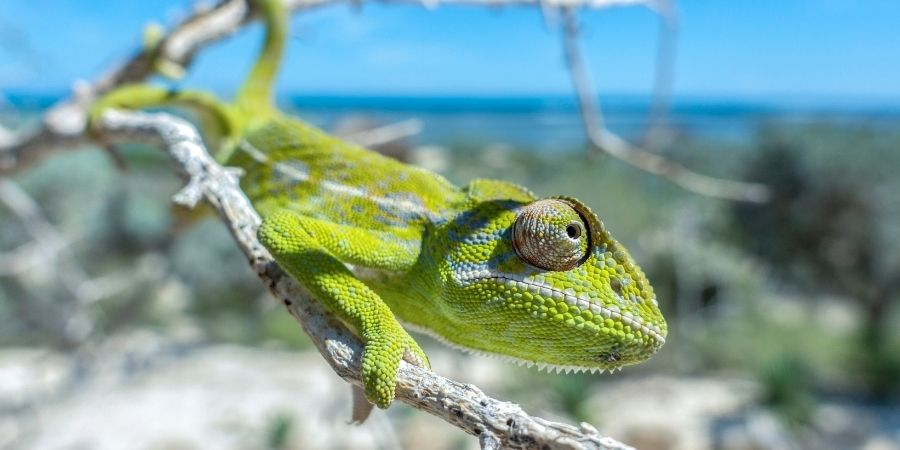 camaleon comun en la playa