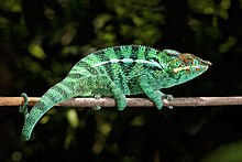 camaleon pantera Nosy Be