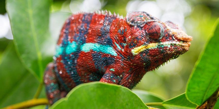 camaleon pantera azul