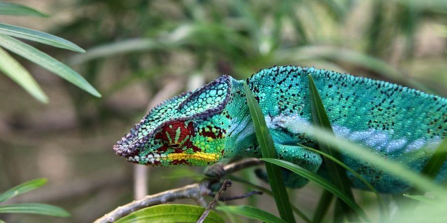 camaleón azul pantera