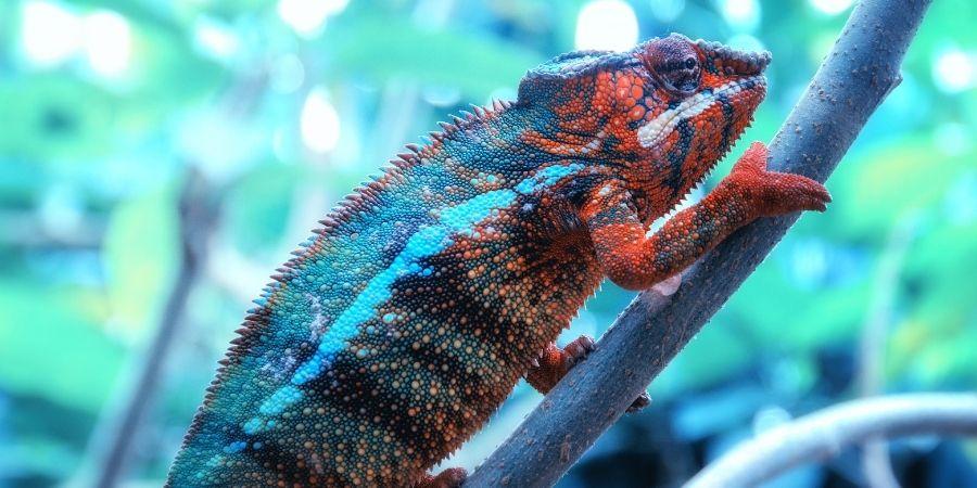 camaleon pantera azul y rojo