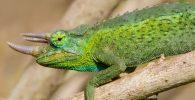 camaleon jackson y sus caracteristicas