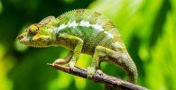 camaleon posado sobre una rama
