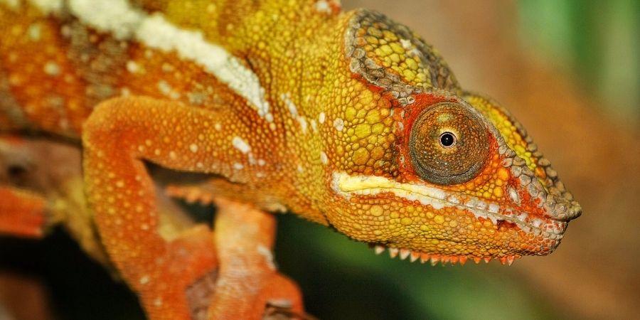 primer plano de una camaleón de colores