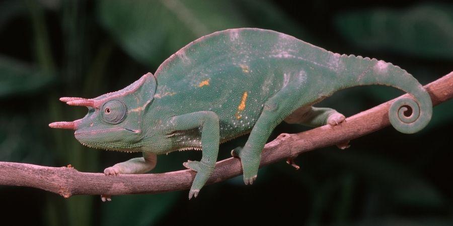 camaleon de la familia Subfamilia Chamaeleoniae