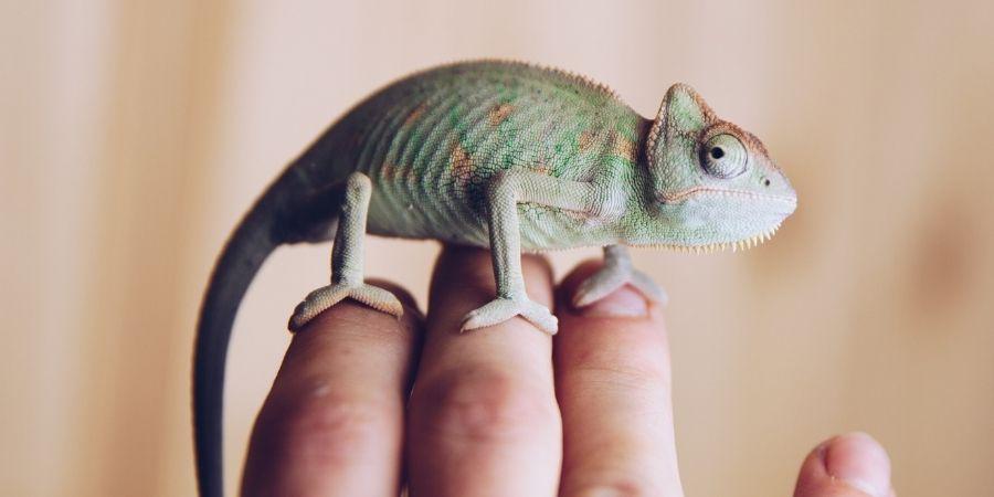 camaleon domestico sobre la mano