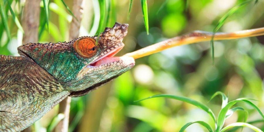 lengua del camaleón de parson