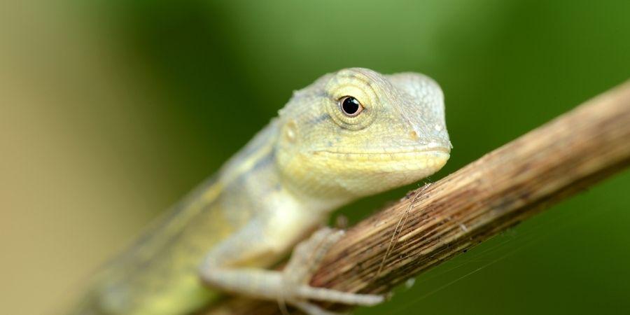 camaleon de parson recien nacido