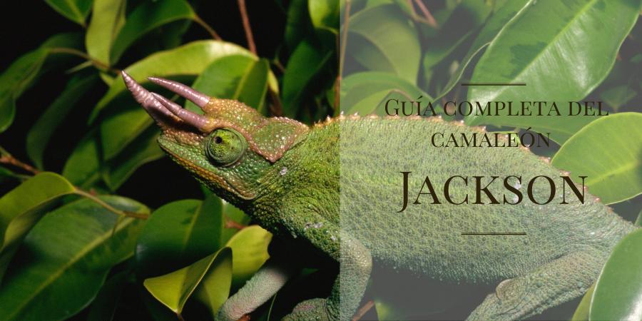 guía especializada del camaleón de jackson