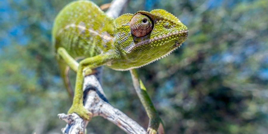 camaleon comun iberico sobre un rama