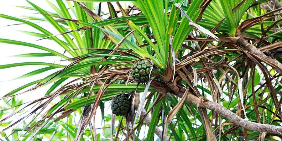 piña de las islas seychelles